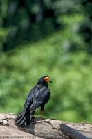 thumb_Black-Caracara