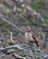 thumb_Thick-Billed-Miner