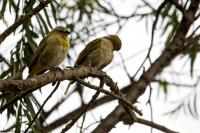 thumb_Grassland-Yellow-Finch
