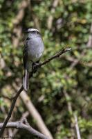 thumb_White-Browed-Chat-Tyrant_foto
