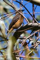 thumb_Streak-Throated-Bush-Tyrant_bl
