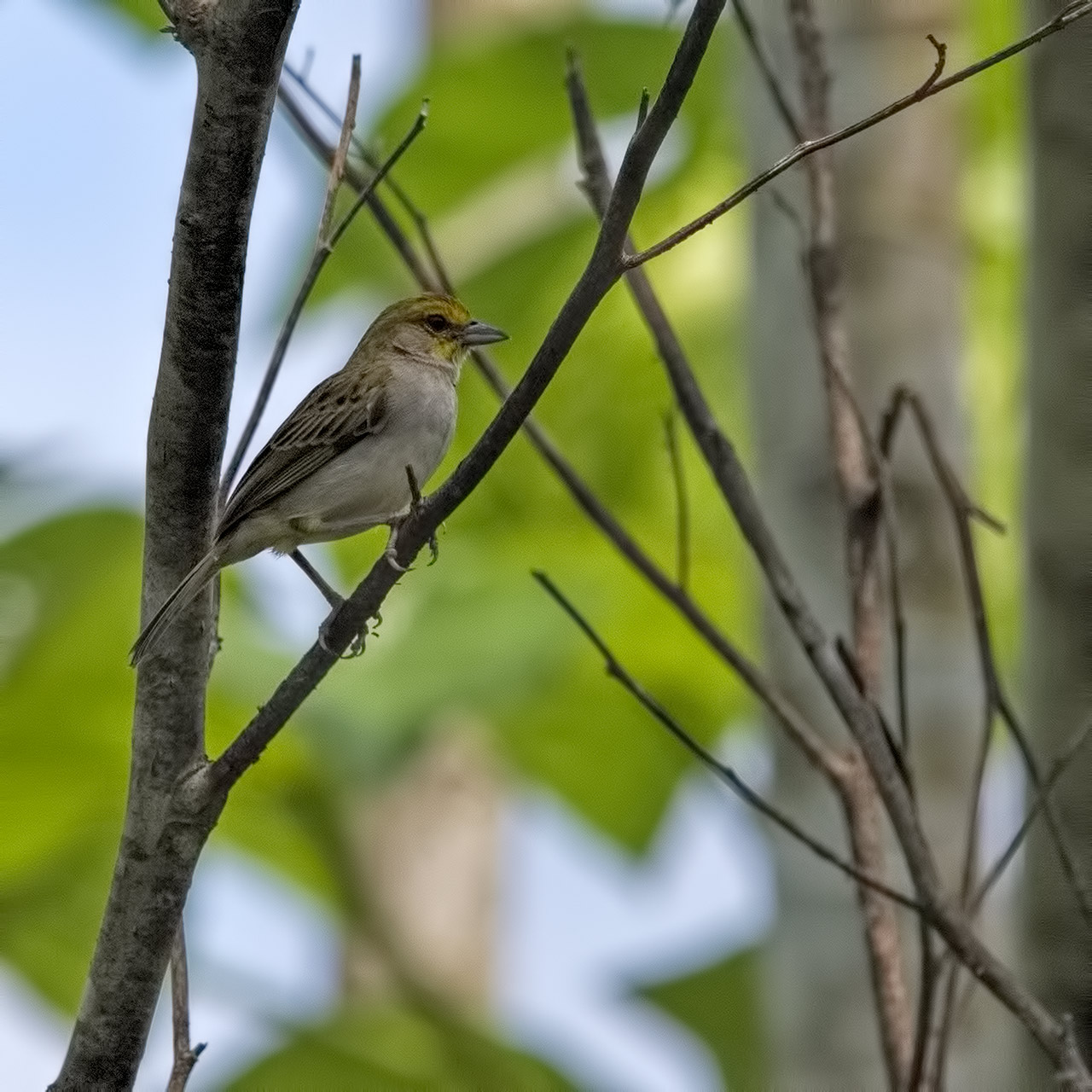 Yellow-browed-Sparrow