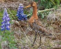 thumb_Limosa lapponica_2886