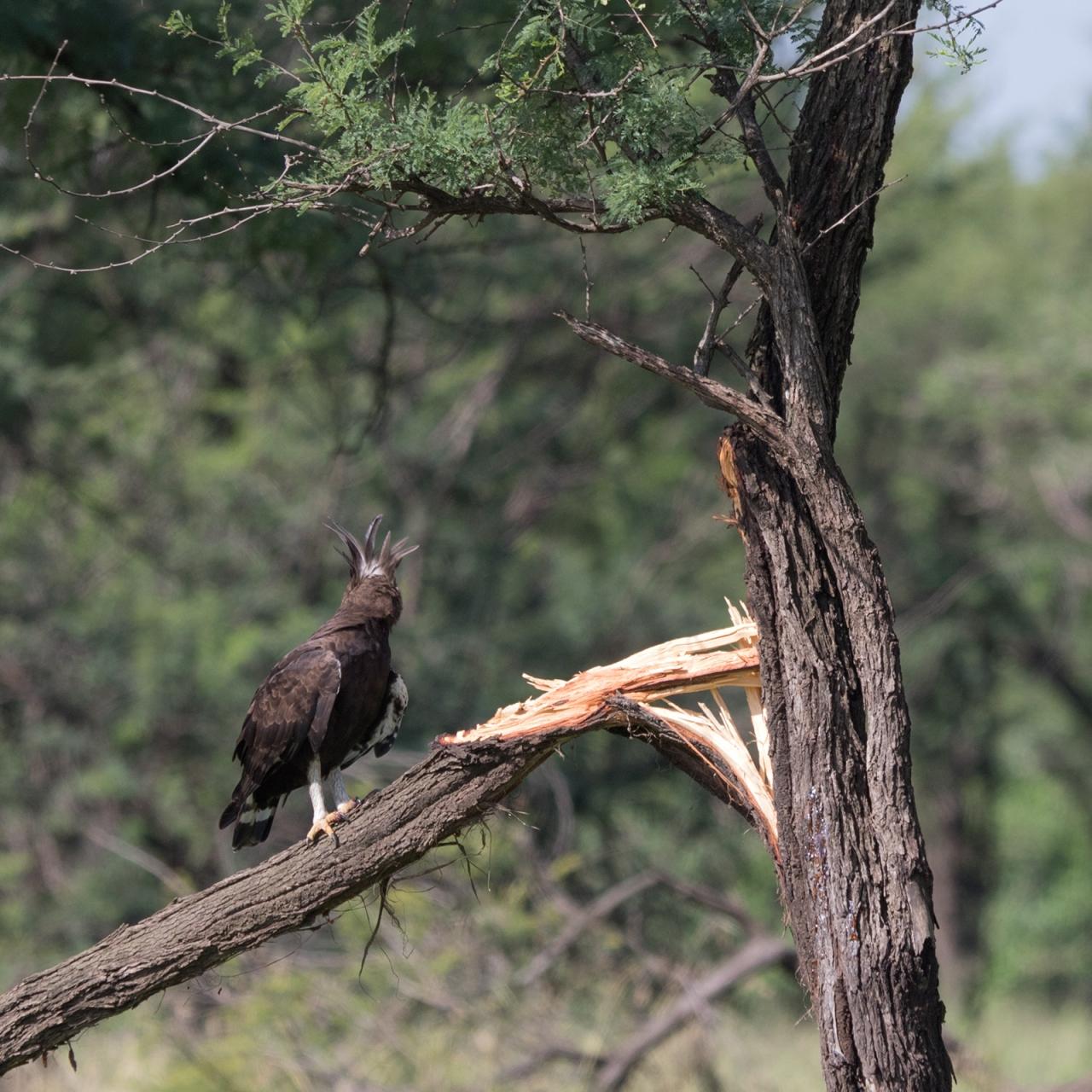 Eagle_Long_Crested